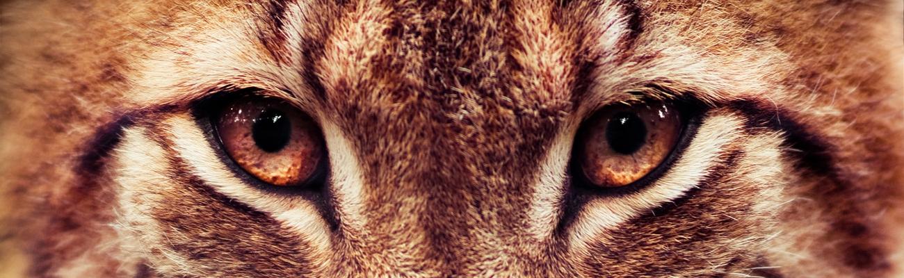 """Résultat de recherche d'images pour """"oeil de lynx"""""""